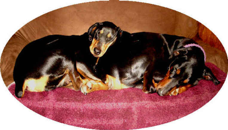 Doberman puppies for sale  Not for guard dog use